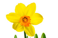 Isolated yellow daffodil flower blossom