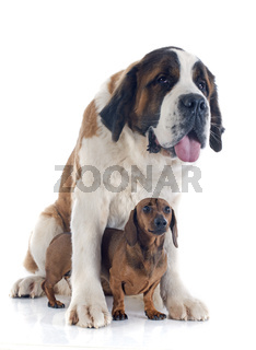 Saint Bernard and dachshund dog