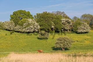 Weide im Frühling mit Hahnenfuss