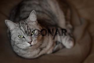 Britisch Kurzhaar Katze liegt auf einem Kissen