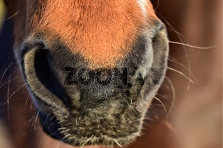 Nose of a brown horse as a close up