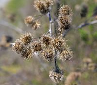 dried blossoms of a burdock