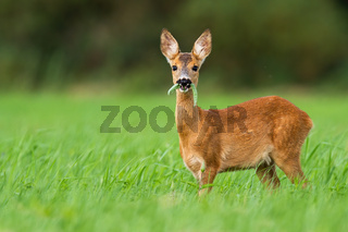 Cute roe deer fawn grazing on green summer meadow with leafs in open mouth.
