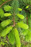 Beautiful young green branch of fir in the forest.