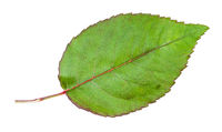 natural leaf of garden rose plant isolated