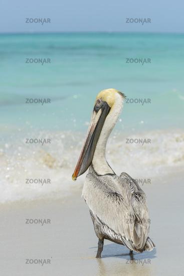Brown Pelikan, Pelecanus occidentalis
