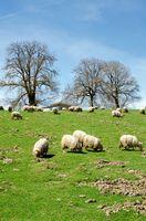 A Flock Of Sheep Grazes On A Green Field.