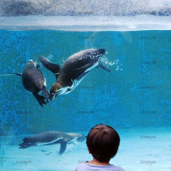 A child watches Humboldt penguins, (Spheniscus humboldti), zoo, Cologne, Germany, Europe