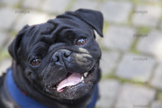 Black pug with dirty face