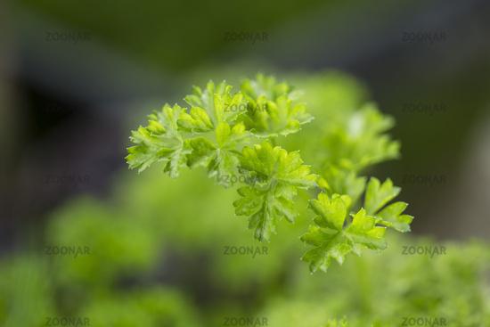 Parsley (Petroselinum)