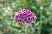 Close up of a half open bud of purple onion flower (allium)