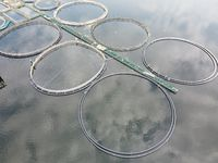 Aerial wide angle view to the landscape with calm waves and salmon fish industry farm circle fences above the water surface. Fish farming or pisciculture concept 4K footage
