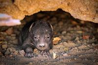 very young spotted hyena, Liwonde NP, Malawi (Crocuta crocuta)