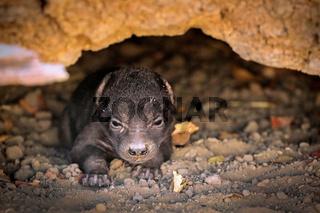 Sehr junge Tüpfelhyäne, Liwonde NP, Malawi (Crocuta crocuta) |  very young spotted hyena, Liwonde NP, Malawi (Crocuta crocuta)