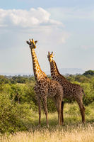 Two giraffes in the savannah of Tsavo East