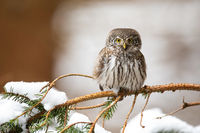 Eurasian pygmy owl sitting on twig in wintertime.
