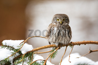 Eurasian pygmy owl sitting on twig in wintertime.