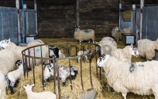 Sheep and Lambs in a pen in a barn