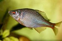 Fish cyprinidae  (Rhodeus amarus)