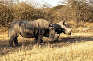 White Rhinos in the Tshukudi Game Reserve