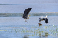 Two Grey Herons fight again and again for the best places to catch fish