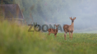 Roe deer buck and white-tailed deer stag standing on field with green grass