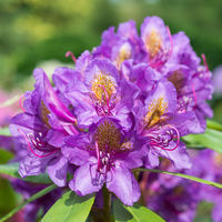 Lilac rhododendron flower close up