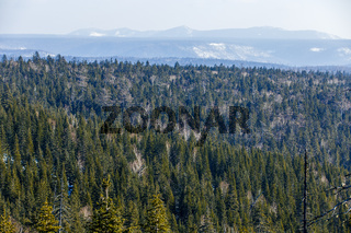 The tops of coniferous trees recede into the distance in the winter season. Cedar tops