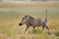 Warthog running