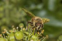 Dronefly  'Eristalis tenax'