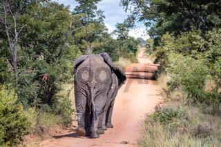 African elephants walking away on a road.