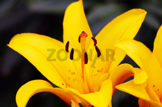 yellow lilly folwer grwoing in garden. Nature