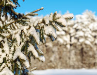 Fir branches covered with snow at winter forest