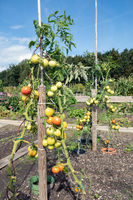 Dutch allotment garden in autumn with ripen tomatoes