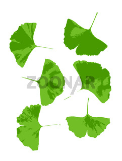 Leaf of Ginkgo biloba isolated on white background. Ginkgo biloba, commonly known as ginkgo or gingko, also known as the maidenhair tree, is the only living species in the division Ginkgophyta