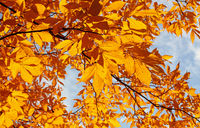 Close up yellow autumn tree leaves
