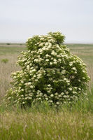 Blossom bush of Elder