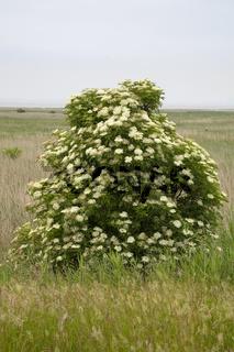 Bluehender Holunderbusch