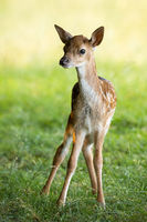 Young fallow deer fawn standing on green meadow in summer
