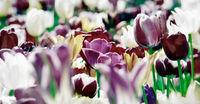 tulpen violett gelb weiß panorama