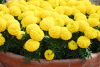 Marigolds Yellow Color (Tagetes erecta, Mexican marigold)
