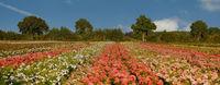 rose_field_06.jpg