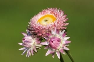 Strohblume, Helichrysum bracteatum, Xerochrysum bracteatum