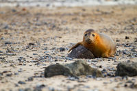 Grey seal (Halichoerus grypus) at Helgoland, Germany