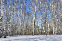 Wonderful winter landscape - snowy white birch forest in sunlight