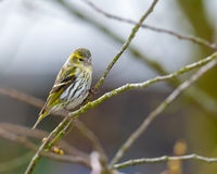 Female siskin bird sitting on the brach of a tree
