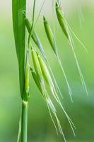 wild oat closeup