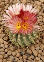 cactus flower_1