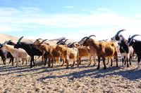 A herd of goats grazes on the border of the sandy desert