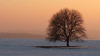 Afterglow with tree soloist in a winter landscape